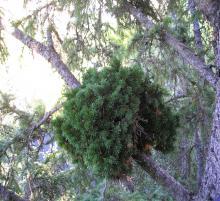 В ТГУ используют растения-мутанты для выведения новых сортов хвойных