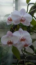 «Яблоневый цвет» распустился в Сибирском ботаническом саду