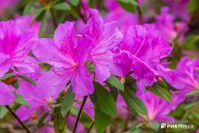 СибБС ТГУ приглашает полюбоваться цветением 60 сортов азалий