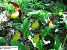 Интернет-выставка «Фотообзор редких растений из Красной книги Томской области»