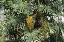 Одна из самых холодостойких пальм на планете зацвела в Ботсаду ТГУ.