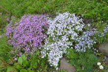Сибирский ботанический сад ТГУ радует цветением флокса шиловидного