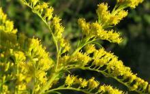 Ботаники ТГУ изучают распространение в Сибири растений-«захватчиков»
