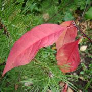 Осенняя окраска бересклета Маака