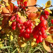 Плодоношение барбариса амурского