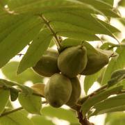 Плодоношение ореха манчжурского