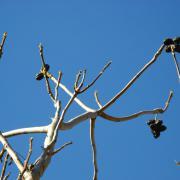 Плоды ореха манчжурского